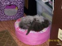 Oberon and Titania, at @ 10 weeks